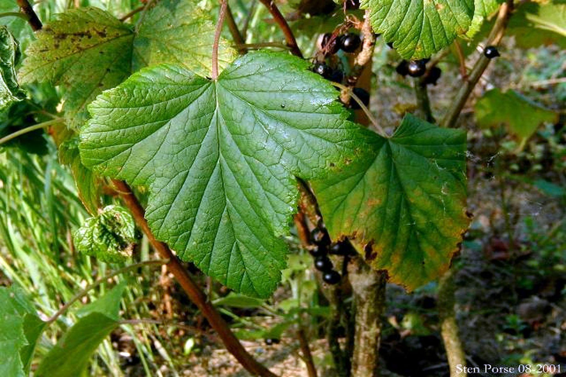 solbaerblad raavare