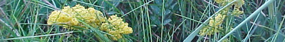 gul snerre raavare